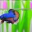 คัดเกรดปลากัดครีบสั้น-Halfmoon Plakat Fancy Blue Orange thumbnail 4