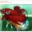 คัดเกรดปลากัดครีบสั้น-Halfmoon Plakat Red Koi Quality Grade thumbnail 2