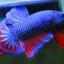 คัดเกรดปลากัดครีบสั้น-Halfmoon Plakad Fancy Dragon ฺBlue Red Qaulity Grade thumbnail 1