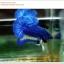 พิเศษ คัดเกรดปลากัดครีบสั้น-Halfmoon Plakat BLue Mustrad Grade AAA+ thumbnail 1