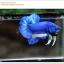 พิเศษ คัดเกรดปลากัดครีบสั้น-Halfmoon Plakat BLue Mustrad Grade AAA+ thumbnail 7