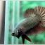 คัดเกรดปลากัดครีบสั้น-Halfmoon Plakad Copper Qaulity Grade thumbnail 2