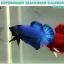 """(ขายแล้วครับ)""""คัดเกรด""""ปลากัดครีบสั้น-Halfmoon Plakats Super Green Black Head thumbnail 5"""