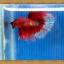 ปลากัดครีบยาว - Halfmoon thumbnail 9