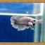 ปลากัดครีบสั้น - Halfmoon Plakats Fancy thumbnail 2