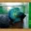 ปลากัดครีบสั้น-Super Green Halfmoon Plakats thumbnail 3