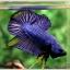 คัดเกรดปลากัดครีบสั้น-Halfmoon Plakad Fancy Blue Mastrad thumbnail 3
