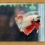 ปลากัดครีบสั้น - Halfmoon Plakats thumbnail 4