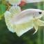 """(ขายแล้วครับ)""""คัดเกรด""""ปลากัดครีบสั้น-Halfmoon Plakats GoldDragon01 thumbnail 7"""