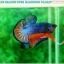 """(ขายแล้วครับ)""""คัดเกรดประกวด""""ปลากัดครีบสั้น-Over Halfmoon Plakats Fancy Dragon Blue Orange Quality Grade thumbnail 6"""