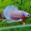 คัดเกรดปลากัดครีบสั้น-Halfmoon Plakat Fancy Dragon Pink thumbnail 4