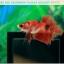 ปลากัดครีบสั้น-Halfmoon Plakat Fancy Red Koi thumbnail 6