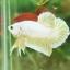 """(ขายแล้วครับ)""""คัดเกรด""""ปลากัดครีบสั้น-Halfmoon Plakats GoldDragon01 thumbnail 4"""