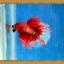 ปลากัดครีบยาว - Halfmoon thumbnail 3