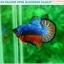 """(ขายแล้วครับ)""""คัดเกรดประกวด""""ปลากัดครีบสั้น-Over Halfmoon Plakats Fancy Dragon Blue Orange Quality Grade thumbnail 1"""