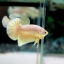 """(ขายแล้วครับ)""""คัดเกรด""""ปลากัดครีบสั้น-Halfmoon Plakats Gold Platinum thumbnail 2"""