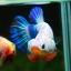 คัดเกรดปลากัดครีบสั้น-Halfmoon Plakad Fancy Dragon Qaulity Grade thumbnail 4