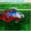 """(ขายแล้วครับ)""""คัดเกรด""""ปลากัดครีบสั้น-Halfmoon Plakats Fancy Dragon Nice colors thumbnail 2"""