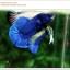 พิเศษ คัดเกรดปลากัดครีบสั้น-Halfmoon Plakat BLue Mustrad Grade AAA+ thumbnail 2