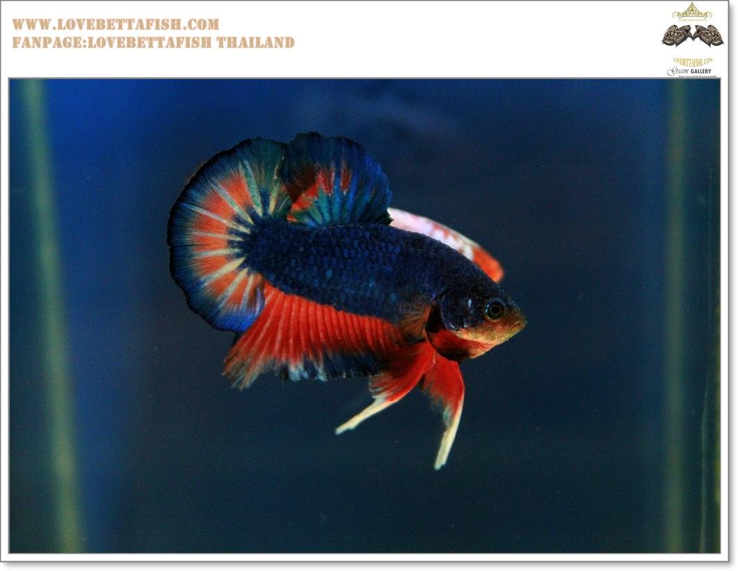 คัดเกรดปลากัดครีบสั้น-Hi- Qaulity Halfmoon Plakat Fancy Blue Orange Dragon Over Tails Quality Grade