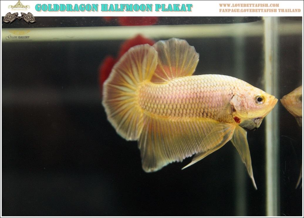 """(ขายแล้วครับ)""""คัดเกรด""""ปลากัดครีบสั้น-Halfmoon Plakats Gold Dragon 003"""