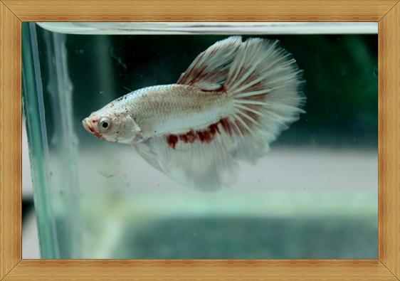 (ขายแล้วครับ)ปลากัดครีบยาว - Halfmoon