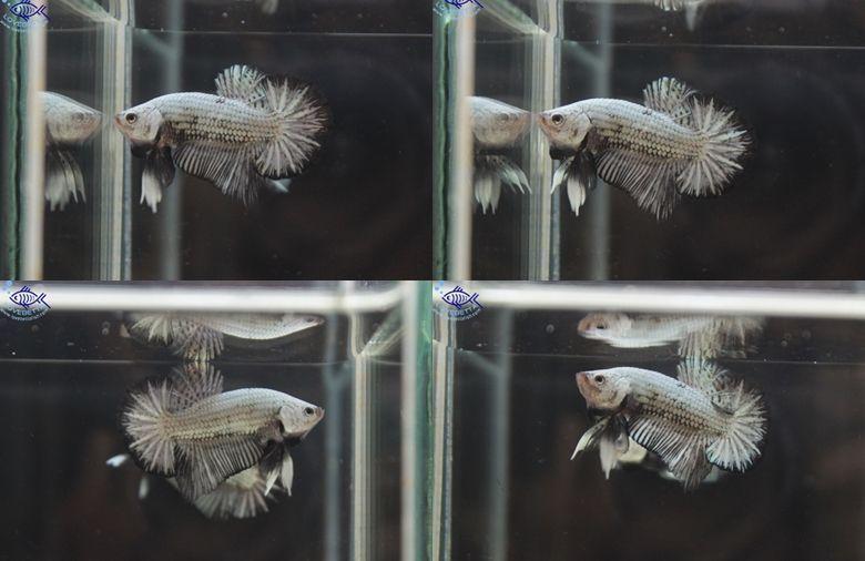 """(ขายแล้วครับ)""""คัดเกรด""""ปลากัดครีบสั้น-Halfmoon Plakats Black Dragon#3"""