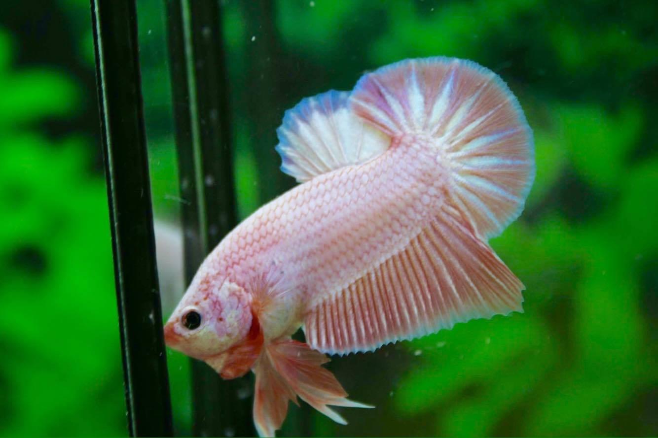 คัดเกรดปลากัดครีบสั้น-Halfmoon Plakad Premium Grade Fancy Colors Pink Big Tails