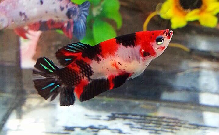 ปลากัดคัดเกรดครีบสั้นตัวเมีย - Female Halfmoon Plakad Fancy Koi Galaxy Premium Quality Grade
