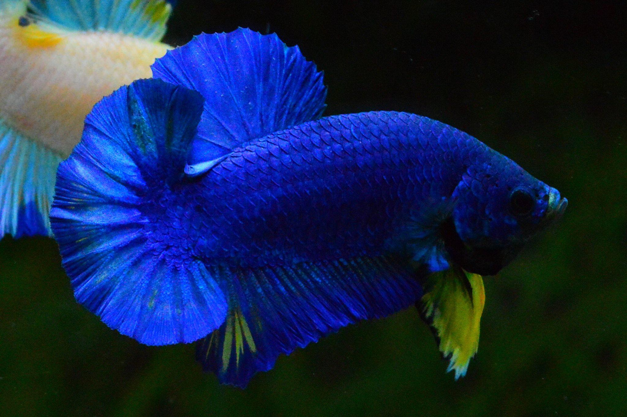 Hi - Premium Grade AAA+ คัดเกรดปลากัดครีบสั้น-Over Tails Halfmoon Plakad Fancy Blue Mustrad