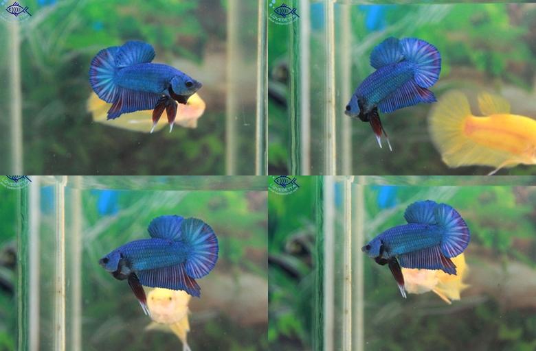 (ขายแล้วครับ)ปลากัดครีบสั้น-Halfmoon Plakats Super Fancy Blue