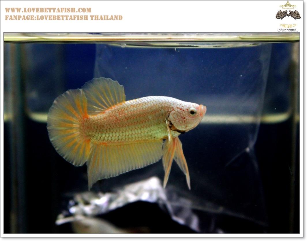 คัดเกรดปลากัดครีบสั้น-Halfmoon Plakat Gold Dragon Quality Grade