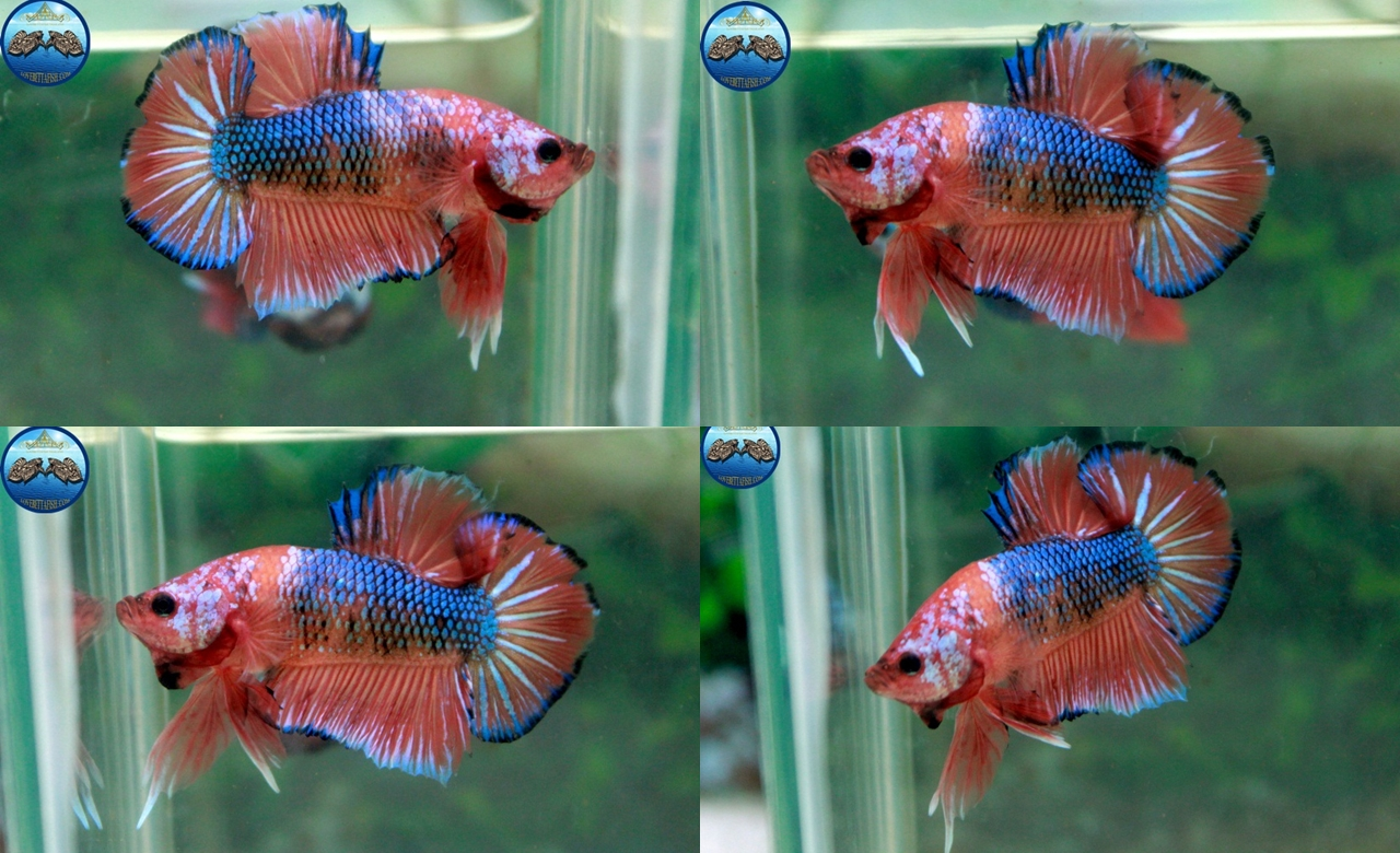 (ขายแล้วครับ)Fancy Orange Over ปลากัดครีบสั้น-Halfmoon Plakats