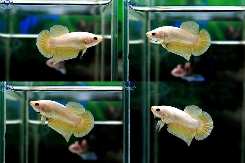 ตอนรับเทศกาล สงกรานต์ ปลากัดครีบสั้น-Halfmoon Plakats Super Gold