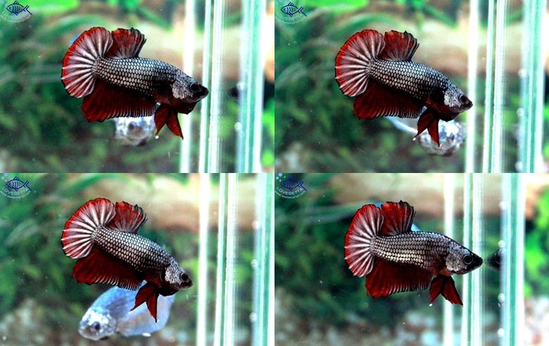 ปลากัดครีบสั้น-Halfmoon Plakats Copper