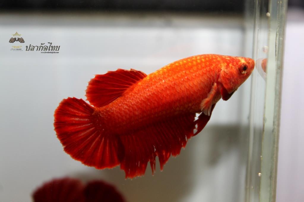 ปลากัดคัดเกรดครีบสั้นตัวเมีย - Halfmoon Plakad Super Red Premium Quality Grade