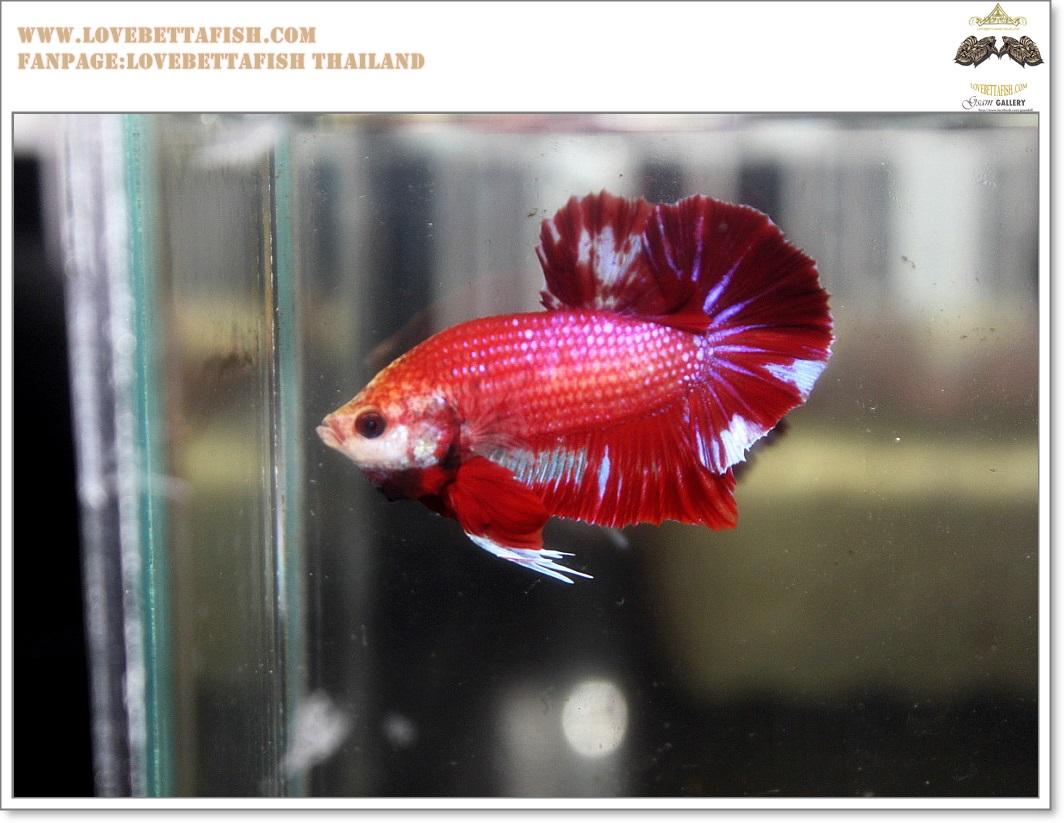 คัดเกรดปลากัดครีบสั้น-Halfmoon Plakat Red Marble Quality Grade