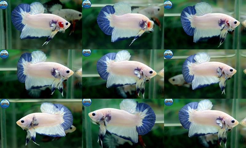 """(ขายแล้วครับ)""""คัดเกรด""""ปลากัดครีบสั้น-Halfmoon Plakats Marble"""