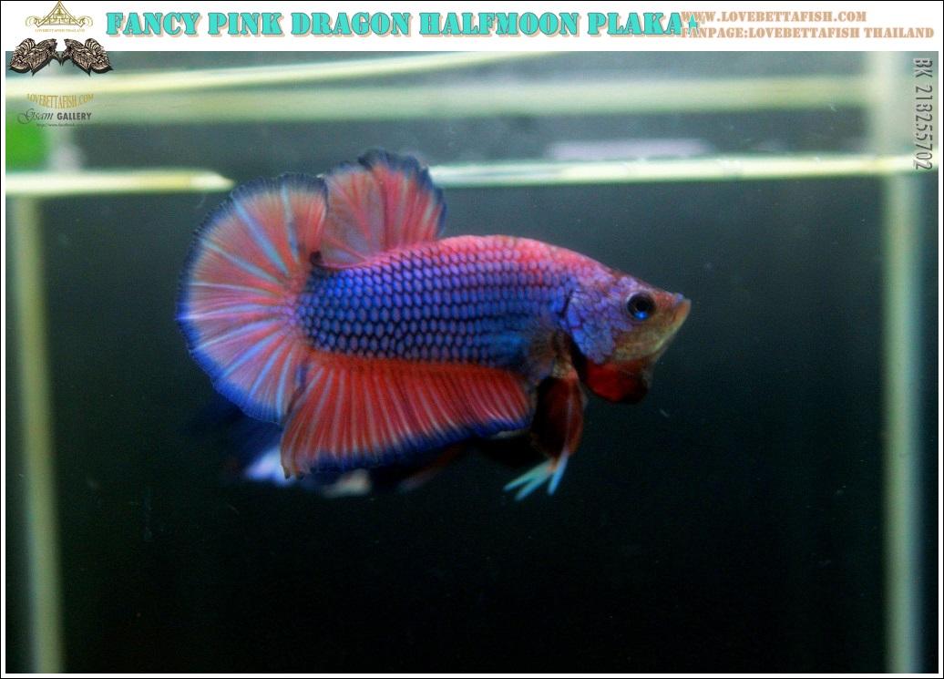 """(ขายแล้วครับ)""""คัดเกรด""""ปลากัดครีบสั้น-Halfmoon Plakats Fancy Dragon Pink Colors"""