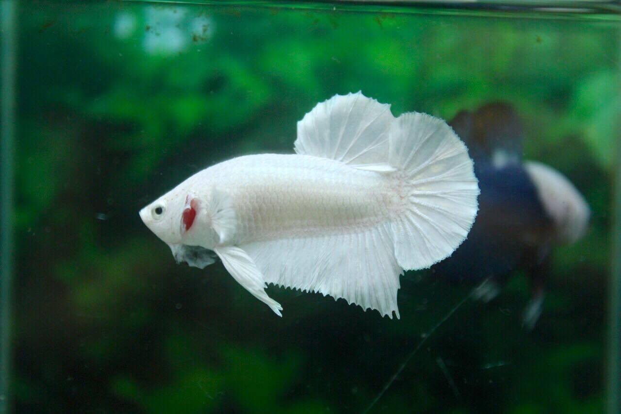 คัดเกรดปลากัดครีบสั้น-Halfmoon Plakad Premium Quality Grade White Platinum