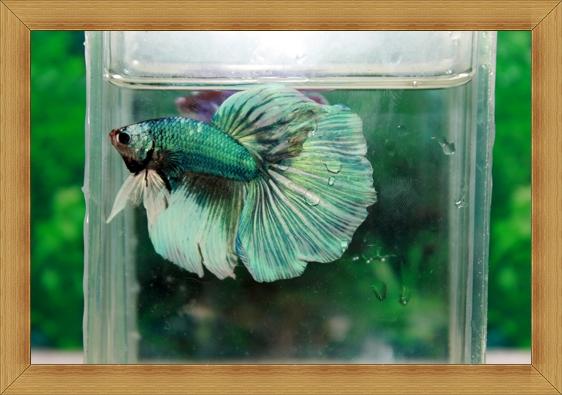 ปลากัดครีบยาว-Fancy Halfmoon