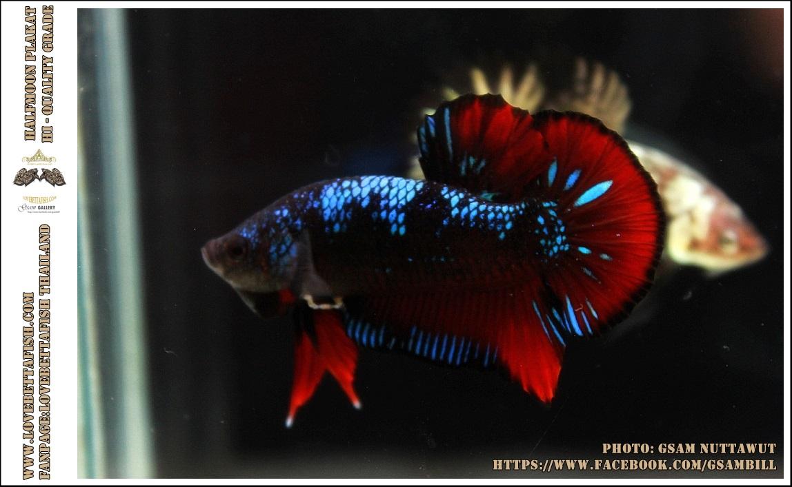 ซามูไร คัดเกรดปลากัดครีบสั้น-Halfmoon Plakat Red - BlackBlue Samurai