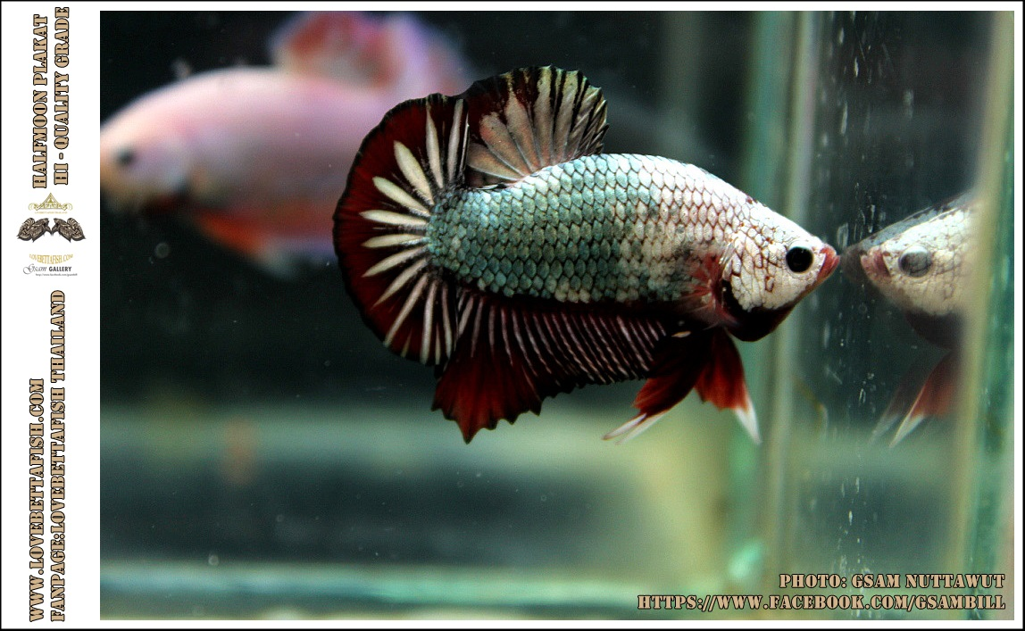 คัดเกรดปลากัดครีบสั้น-Halfmoon Plakad Fancy Copper Red Dragon