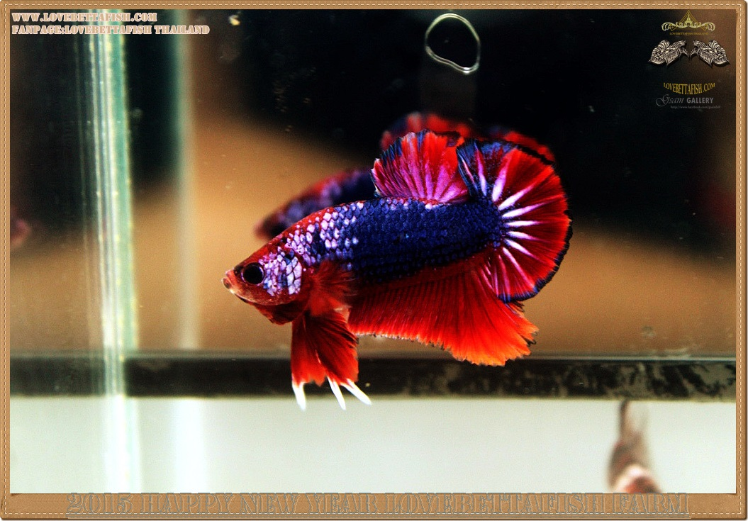 (ขายแล้วครับ)+ส่งท้ายปีเก่าตอนรับปีใหม่+ปลากัดครีบสั้น-Halfmoon Plakat Fancy Dragon Red Blue