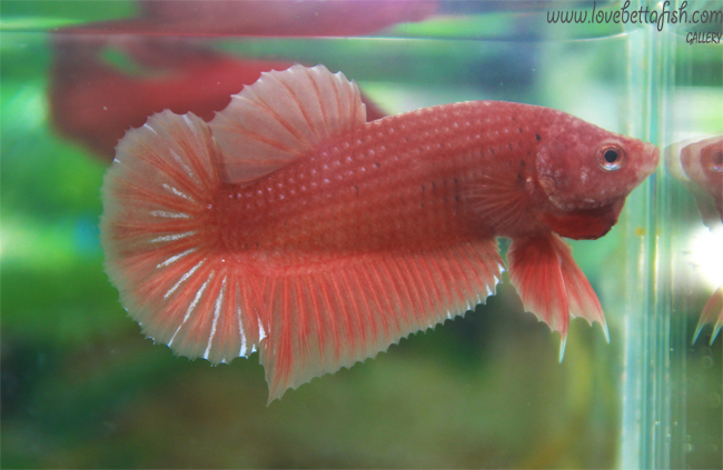 ปลากัดครีบสั้น - Halfmoon Plakats Orenge