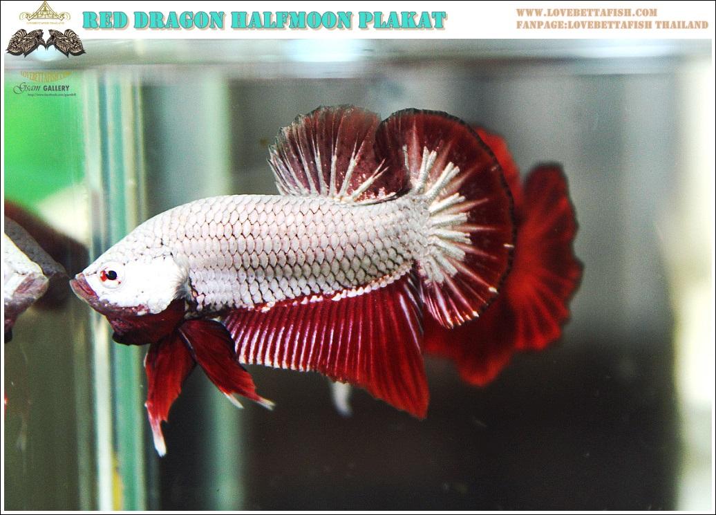 """""""คัดเกรด""""ปลากัดครีบสั้น-Halfmoon Plakats Red Dragon Quality Grade"""