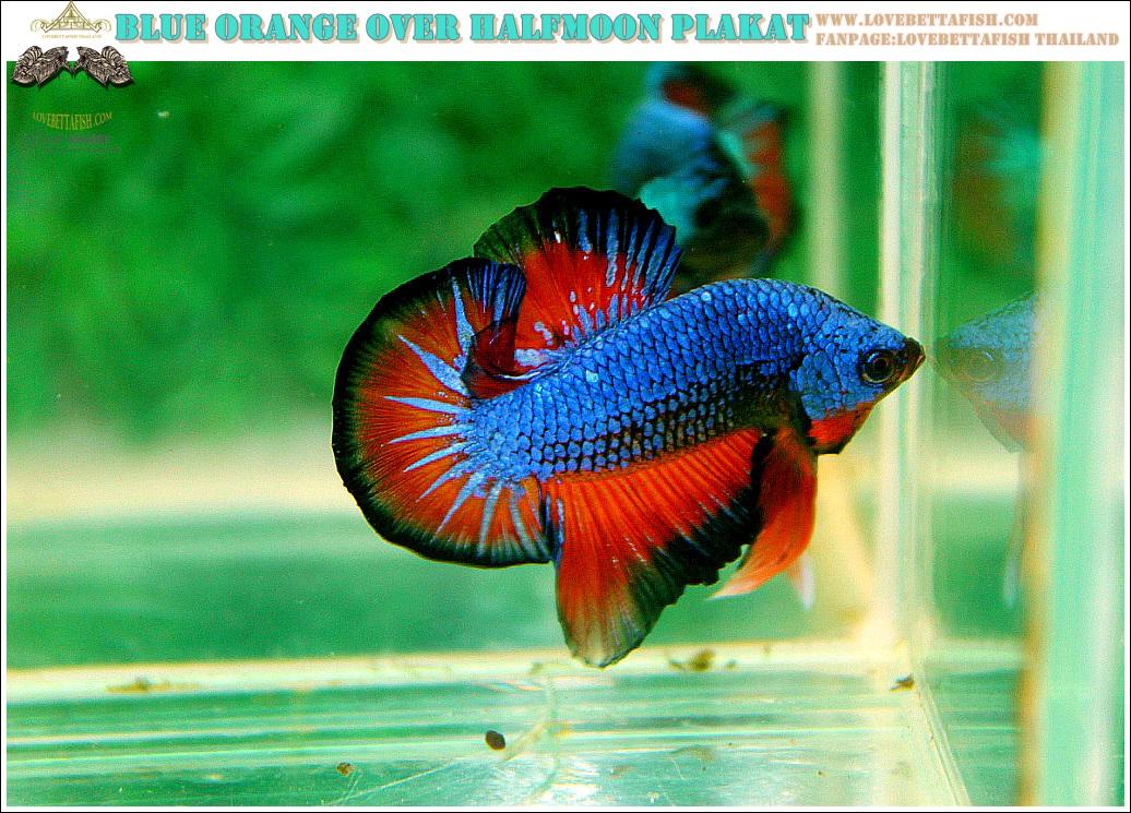 """(ขายแล้วครับ)""""คัดเกรดประกวด""""ปลากัดครีบสั้น-Over Halfmoon Plakats Fancy Dragon Blue Orange Quality Grade"""