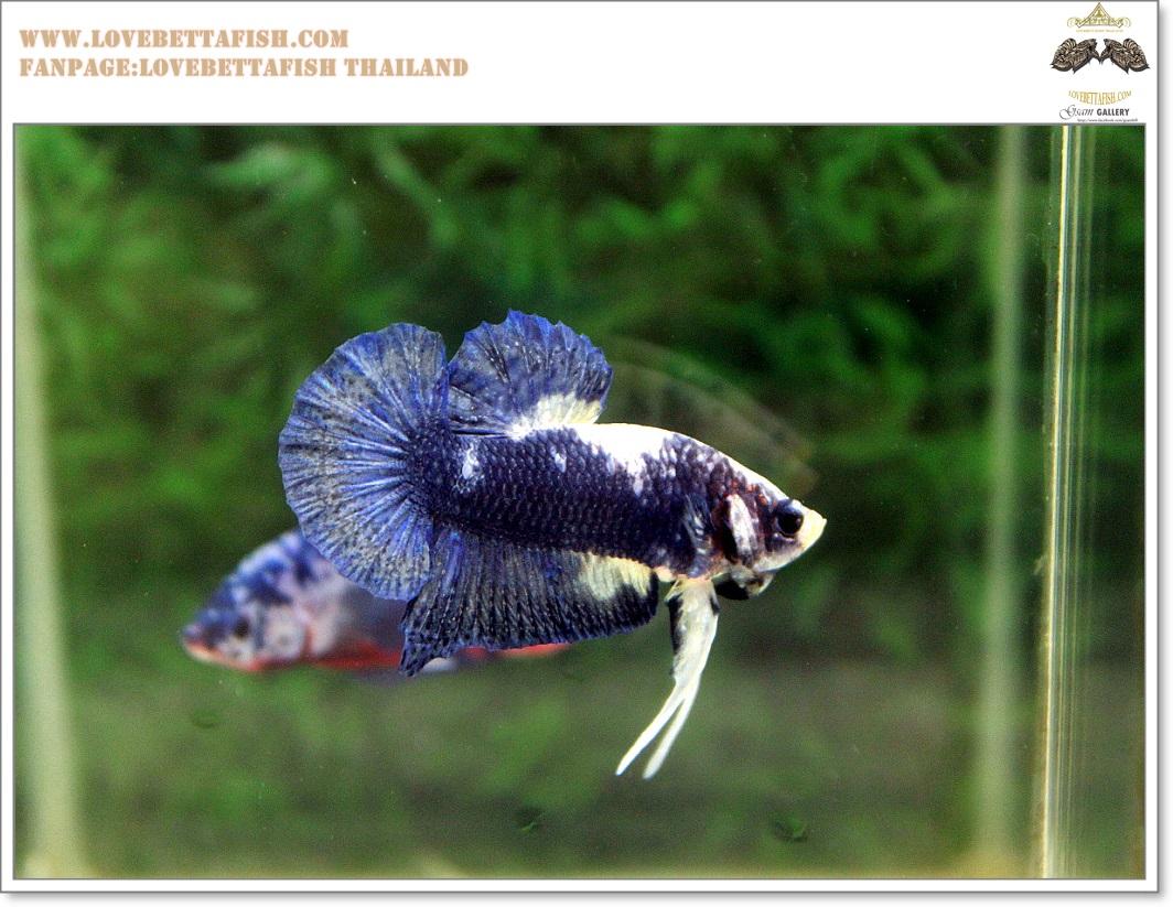 คัดเกรดปลากัดครีบสั้น-Halfmoon Plakat Blue Dragon