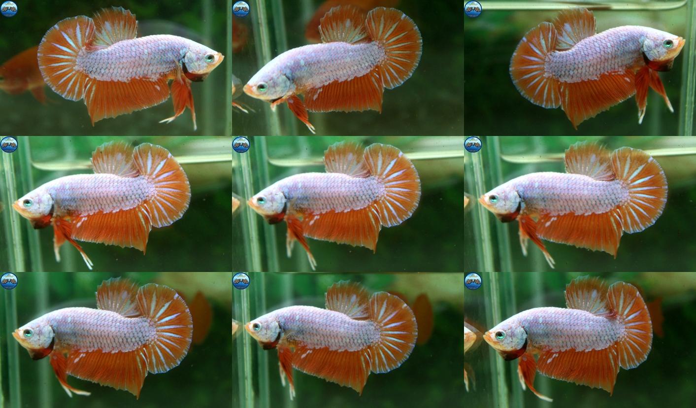 """(ขายแล้วครับ)""""คัดเกรด""""ปลากัดครีบสั้น-Halfmoon Plakats Orange Dragon Sweet"""
