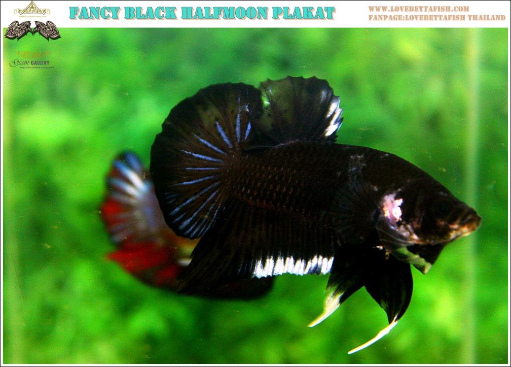 """(ขายแล้วครับ)""""คัดเกรด""""ปลากัดครีบสั้น-Halfmoon Plakats Fancy Black Quality Grade"""
